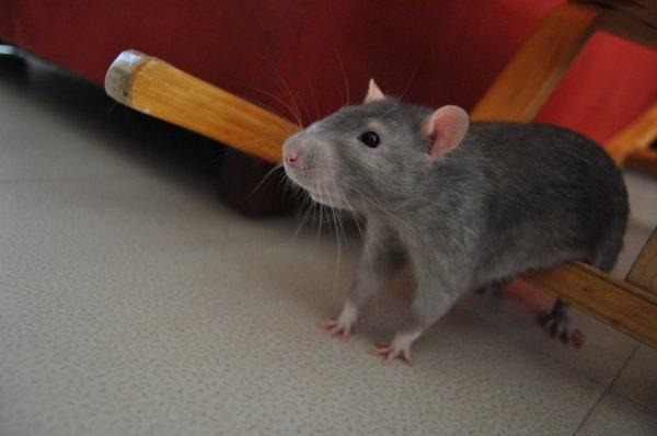 rat dans une maison great comment se dbarrasser des rats. Black Bedroom Furniture Sets. Home Design Ideas
